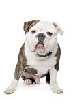 Vecchio bulldog inglese Fotografia Stock Libera da Diritti