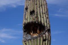 Vecchio cactus del saguaro Fotografia Stock Libera da Diritti