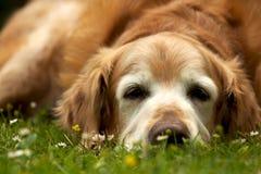 Vecchio cane fotografia stock libera da diritti