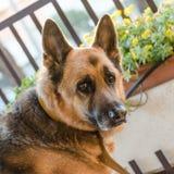 Vecchio cane Fotografie Stock