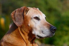 Vecchio cane adorabile Immagine Stock Libera da Diritti