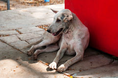 Vecchio cane bianco Fotografie Stock