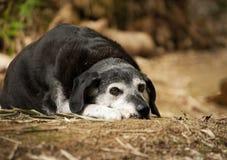 Vecchio cane che ha un resto Fotografia Stock Libera da Diritti
