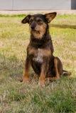 Vecchio cane che posa e che riposa sull'erba fotografia stock libera da diritti