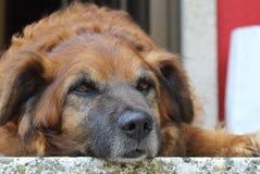 Vecchio cane che prende un resto fotografie stock