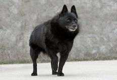 Vecchio cane dello schipperke fotografia stock libera da diritti