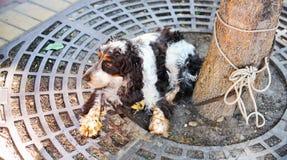 Vecchio cane dello spaniel legato all'albero Immagine Stock