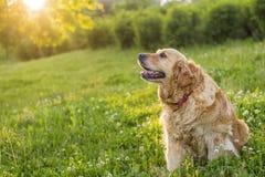 Vecchio cane di golden retriever immagini stock