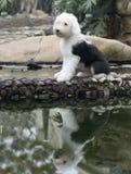 Vecchio cane di pecore inglese del cane Fotografia Stock
