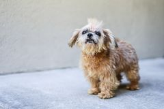 Vecchio cane di salvataggio con un Mohawk fotografie stock