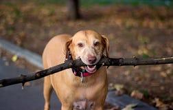 Vecchio cane dorato Fotografia Stock