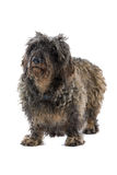 Vecchio cane grigio fotografie stock