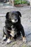 Vecchio cane ibrido triste su una catena Cane irsuto, cane che custodice la casa fotografie stock