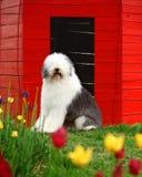 Vecchio cane pastore inglese fotografie stock libere da diritti