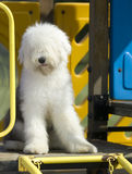 Vecchio cane pastore inglese Fotografie Stock