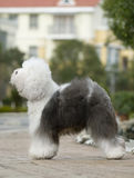 Vecchio cane pastore inglese Fotografia Stock
