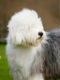 Vecchio cane pastore inglese del cane Fotografie Stock