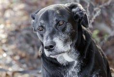 Vecchio cane posteriore di labrador retriever con la museruola grigia immagine stock libera da diritti