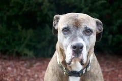 Vecchio cane triste Fotografia Stock Libera da Diritti