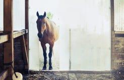 Vecchio cavallo all'entrata alle stalle con i ciechi verticali fotografia stock libera da diritti