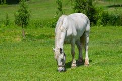 Vecchio cavallo bianco Fotografia Stock Libera da Diritti