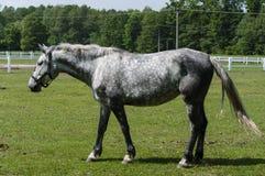 Vecchio cavallo bianco dei kladrubs Fotografie Stock