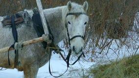 Vecchio cavallo bianco archivi video
