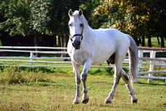 Vecchio cavallo di Kladruby nell'uscita Fotografie Stock Libere da Diritti