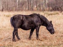 Vecchio cavallo nero che pasce in un campo fotografia stock libera da diritti