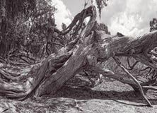 Vecchio cedro rosso in bianco e nero Fotografia Stock Libera da Diritti