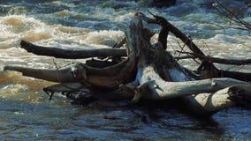 Vecchio ceppo asciutto nodoso nel fiume stock footage