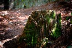 Vecchio ceppo di albero in campagna Fotografia Stock Libera da Diritti