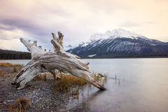 Vecchio ceppo di albero che mette sulla riva del lago calmo con un'alta montagna coperta da neve dietro, parco nazionale di Banff Fotografie Stock