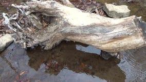 Vecchio ceppo di albero enorme sopra le cascate della forcella della poltiglia sull'insenatura del campo video d archivio