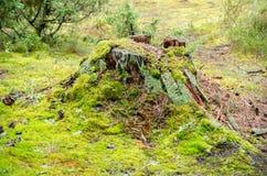 Vecchio ceppo di albero muscoso rotto Fotografia Stock Libera da Diritti