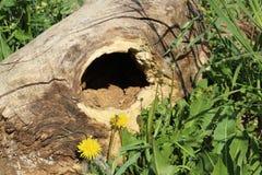 Vecchio ceppo di legno e fiori gialli Fotografia Stock Libera da Diritti