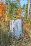 Vecchio ceppo di quercia Fotografia Stock