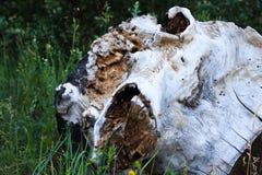 Vecchio ceppo sulla terra, nell'erba fotografie stock