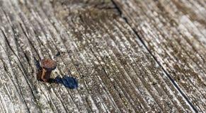 Vecchio chiodo marrone asciutto del woodwith Fotografie Stock Libere da Diritti