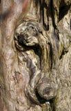 Vecchio circuito di collegamento di albero Gnarled Fotografia Stock Libera da Diritti