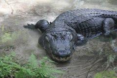 Vecchio coccodrillo Fotografia Stock