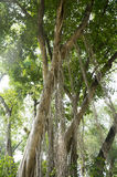 Vecchio concetto dell'ambiente vegetale della natura di verde della foglia dell'albero Immagini Stock Libere da Diritti