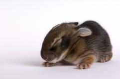 Vecchio coniglio di settimana immagine stock