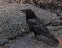 Vecchio corvo sulla lava Immagini Stock