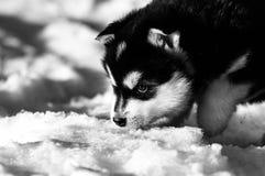 Vecchio cucciolo di tre settimane del malamute d'Alasca Fotografie Stock