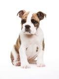 Vecchio cucciolo inglese del bulldog Fotografia Stock Libera da Diritti