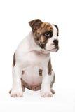 Vecchio cucciolo inglese del bulldog Immagini Stock Libere da Diritti