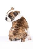Vecchio cucciolo inglese del bulldog dalla parte posteriore Fotografie Stock
