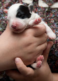 Vecchio cucciolo inglese del cane pastore Immagini Stock Libere da Diritti