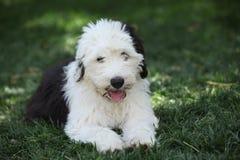 Vecchio cucciolo inglese del cane pastore fotografie stock